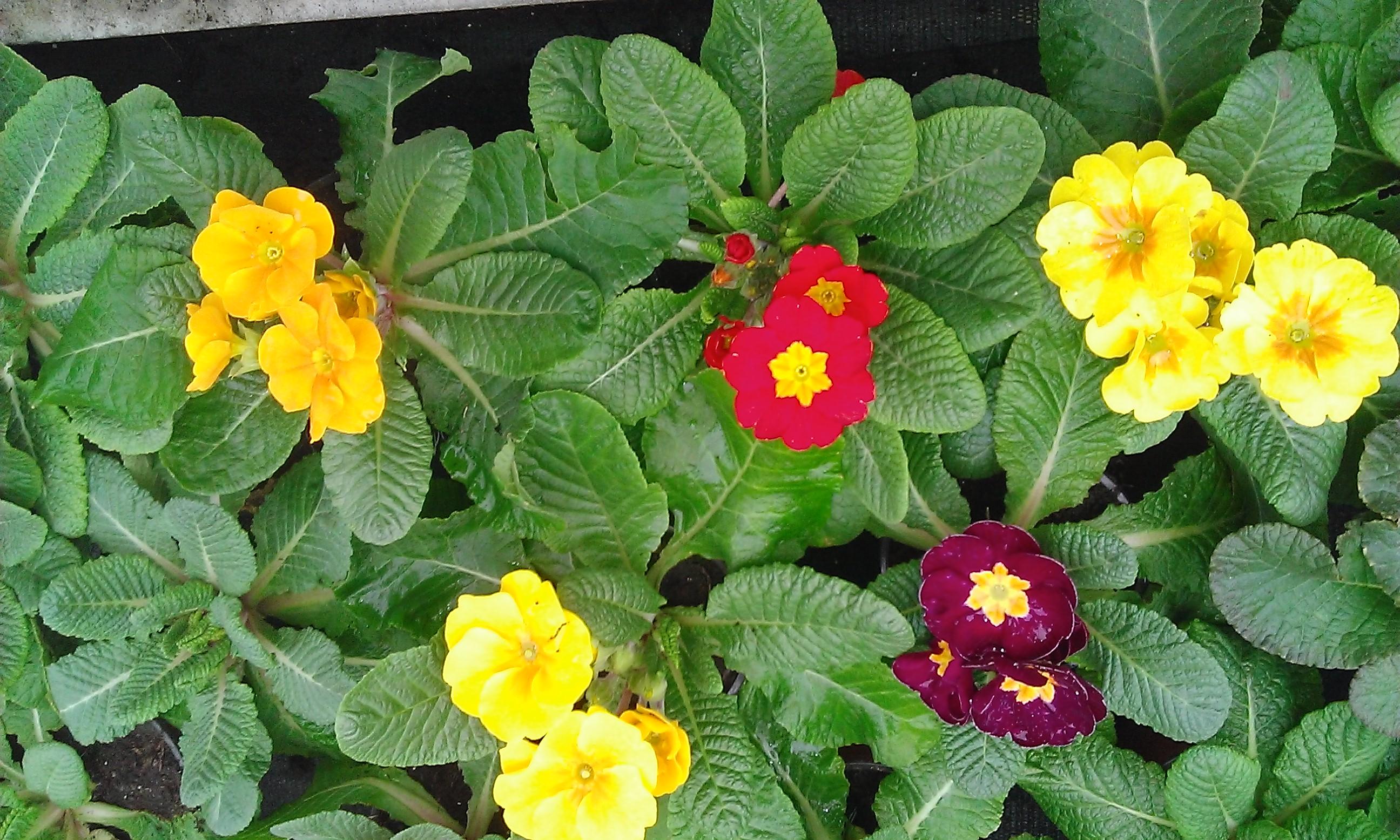 Primula, petrklíč neboli prvosenka